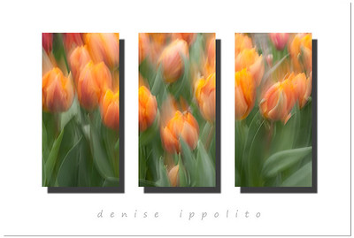 Orange-creme Tulip Triptych