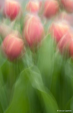 Two-tone Tulips