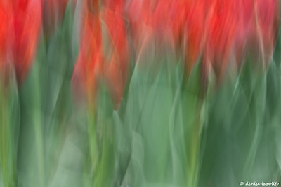 Straight Red Tulips