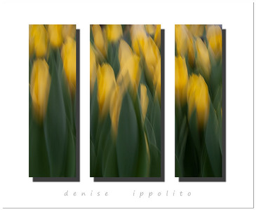 Yellow Tulip Triptych