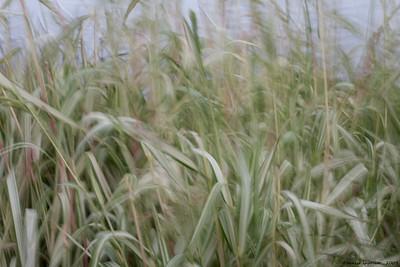 Ribbon Grass #2