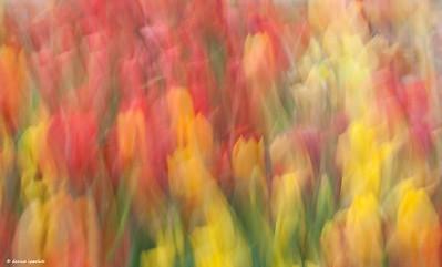 Tulip Fusion