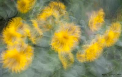 Sunflower Flow