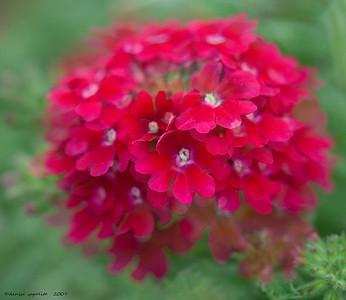 Red Verbena Blur