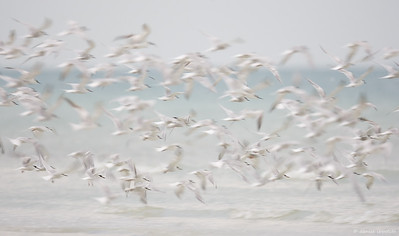 Tern Blur at Fort De Soto