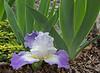 Earth Blooming Iris