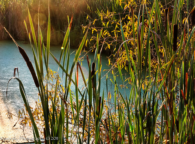 Cattails in the green