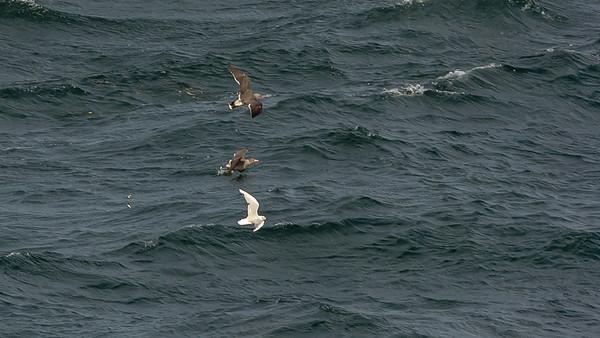 Bonaparte's Gull & Heerman's Gulls