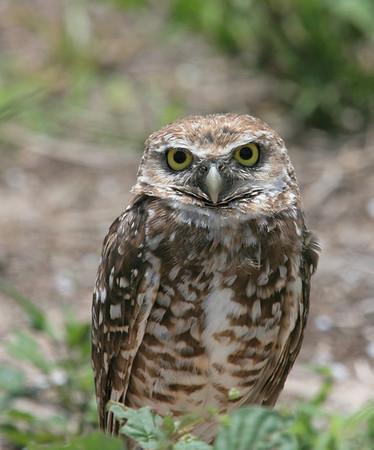 This is a Marco Island Burrowing Owl. They are so cute and usually have between 4 and 8 babies in their nests. <br /> <br /> You can see these wonderful birds on several places on Marco Island. they are protected and have strict fines for anyone who endangers them.