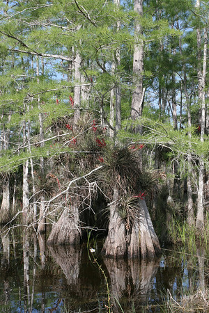 A magnificient Cypress tree with many air plants, bromiliads and orchids on it.<br /> <br /> As long as there is water these cypress trees will grow and thrive. When the water receeds they will last but don't have the nice green foliage that they have in the rainy months.