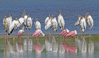 """This Photgraph is one that Capt. Don took hundreds of photos to capture the perfect grouping. <br /> <br /> The name"""" At the Bar"""" represents the feeling  he had when he saw the Wood storks gathering with the beautiful Spoon Bills, the reflections was just perfect that day and it is one of his favorite personal photos in his collection."""