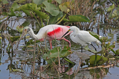 Roseate Spoon Bill and a White Egret Wading together looking for food to share or maybe steal from the other one. Notice the color in the Spoon Bill as the color is determined by how many and the kind of crustacians that they eat.