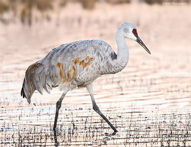 Sandhill Crane at Dawn