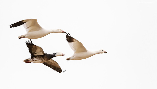 Snow Geese - White and Blue Morph