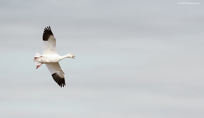 Snow Goose Flight - Underside