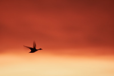 Snow Goose at Bosque