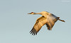 Sandhill Crane Flight - Full Down Position