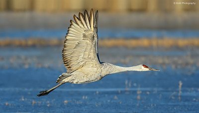 Sandhill Crane Flight Full upright