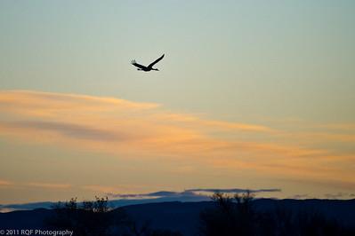 Sandhill crane heads towards the sunrise.