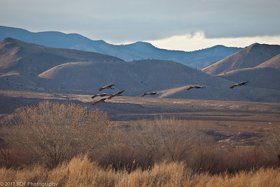 Sandhill cranes on approach to their overnight pond.