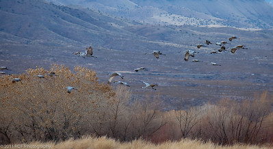 Sandhill cranes return for the evening.