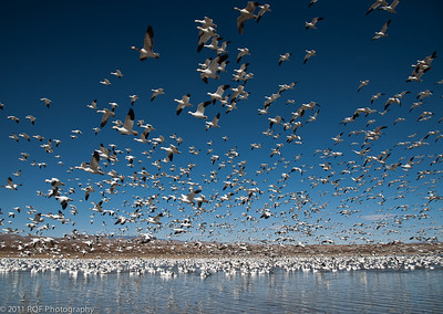 Flying by - midday. Bosque del Apache, New Mexico