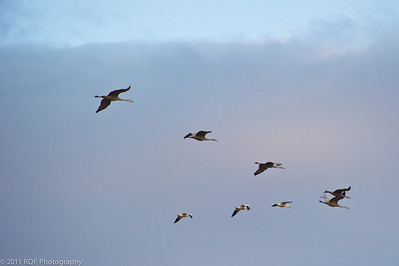 Mixed formation - cranes and light geese.