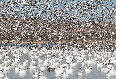Partial blast off as some of the group moves to the other end of the pond.  Bosque del Apache, NM