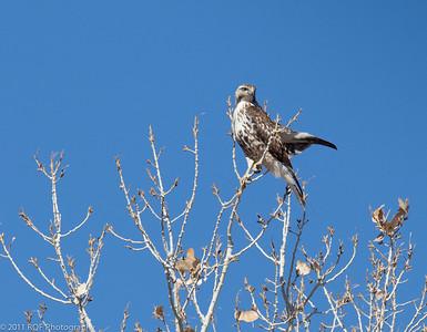 Cooper's Hawk (male juvenile?).