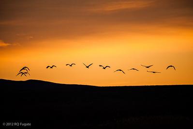 _Q101294  Sandhill cranes, sunrise, Bosque del Apache, New Mexico