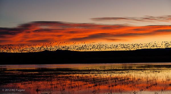 _Q101143  Light geese, sunrise, Bosque del Apache, New Mexico