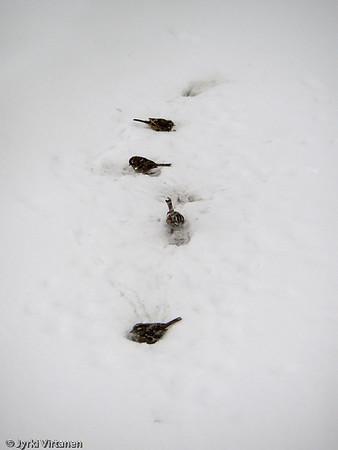 Birds in Snowstorm - Boston, MA, USA