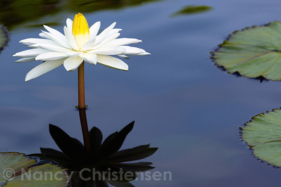 Early Morning Beauty 'Wood's White Knight' Waterlily