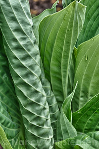 Unfurling Hosta Leaves 'Sum and Substance'