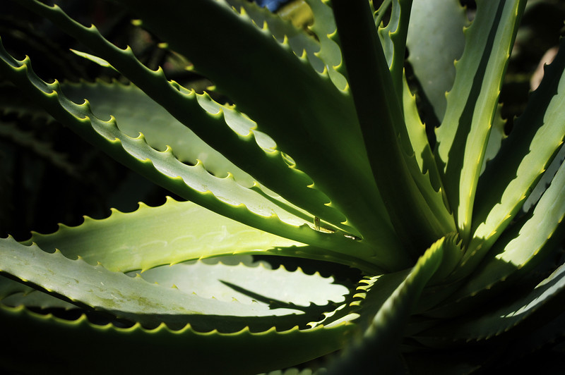 An aloe plant, photographed in Mexico.