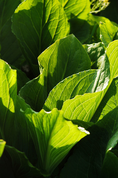 Skunk cabbage, Centre County, Pennsylvania.