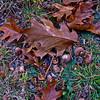 Oak leaves and acorns.