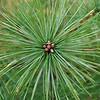 Pine sprig