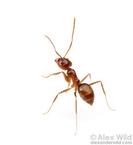 The taxonomy of the hairy crazy ant Nylanderia sp. is not yet settled, and the pest species is referred to variously as Nylanderia fulva, Nylanderia pubens, and Nylanderia nr. pubens.  Morretes, Paraná, Brazil