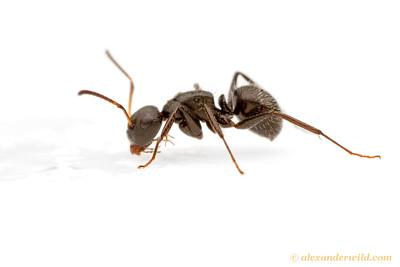 Camponotus crassus