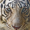 Title: Mesmerized<br /> Date: October 2008<br /> A white tiger at the Busch Gardens Amusement Park in Tampa Florida.