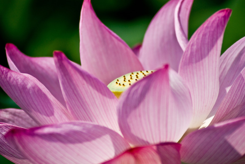 Title: Lotus Blossom<br /> Date: July 2008<br /> A lotus blossom in full bloom at the Kenilworth Aquatic Gardens in NE DC.