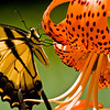 Title: Hanging On<br /> Date: July 2009<br /> A butterfly on a lily at the National Arboretum.