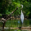Title: Over the Shoulder<br /> Date: June 2009<br /> Great Blue Heron along the Anacostia River.