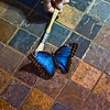 Title: Brushed<br /> Date: November 2008<br /> A live butterfly at the Smithsonian Natural History Museum's Butterfly exhibit.