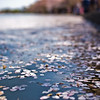 Title: After Peak<br /> Date: April 2010<br /> Cherry Blossom pedals in the Tidal Basin.