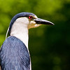 Title: Look Into My Eyes<br /> Date: May 2009<br /> A Night Heron along the Anacostia River in DC.