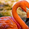Title: Hot Pink<br /> Date: September 2008<br /> A Pink Flamingo at the National Zoo.