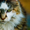 Title: Meatball<br /> Date: August 2008<br /> My family's cat Meatball.