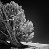 BC119 Infrared Bristlecone Tree